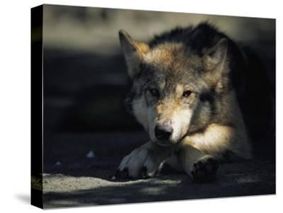 Gray Wolf-Joel Sartore-Stretched Canvas Print