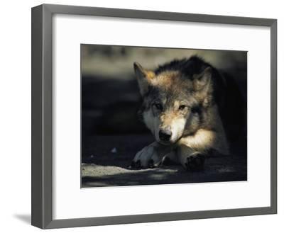 Gray Wolf-Joel Sartore-Framed Photographic Print