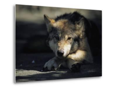 Gray Wolf-Joel Sartore-Metal Print