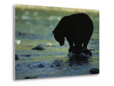 Black Bear Perched on Rock Watching for Fish-Joel Sartore-Metal Print
