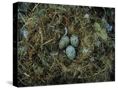 Glaucous-Winged Gull Nest with Three Eggs-Joel Sartore-Stretched Canvas Print