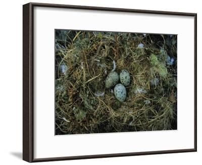 Glaucous-Winged Gull Nest with Three Eggs-Joel Sartore-Framed Photographic Print