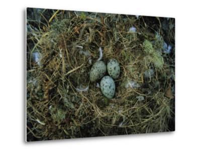 Glaucous-Winged Gull Nest with Three Eggs-Joel Sartore-Metal Print