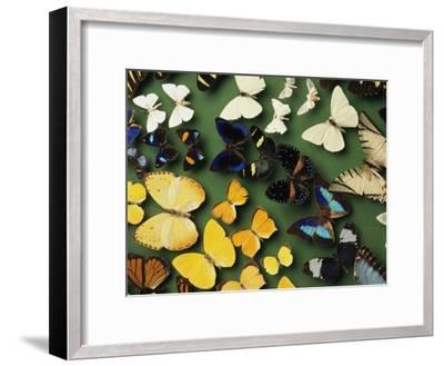 Butterfly Specimens in a Lab of the National Biodiversity Institute-Steve Winter-Framed Photographic Print