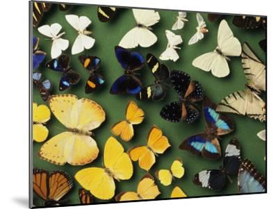 Butterfly Specimens in a Lab of the National Biodiversity Institute-Steve Winter-Mounted Photographic Print