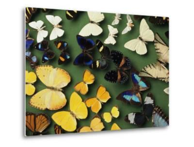 Butterfly Specimens in a Lab of the National Biodiversity Institute-Steve Winter-Metal Print