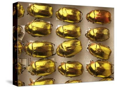 Beetle Specimens in a Lab of the National Biodiversity Institute-Steve Winter-Stretched Canvas Print