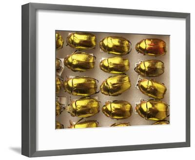 Beetle Specimens in a Lab of the National Biodiversity Institute-Steve Winter-Framed Photographic Print