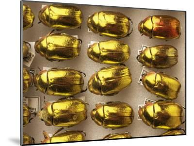 Beetle Specimens in a Lab of the National Biodiversity Institute-Steve Winter-Mounted Photographic Print