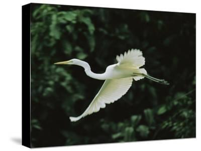 A Great Egret, Casmerodius Albus, Flies Gracefully-Tim Laman-Stretched Canvas Print