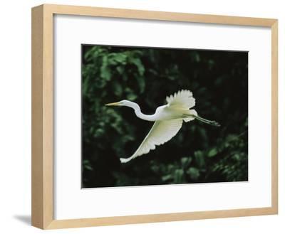 A Great Egret, Casmerodius Albus, Flies Gracefully-Tim Laman-Framed Photographic Print