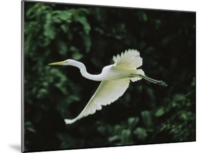 A Great Egret, Casmerodius Albus, Flies Gracefully-Tim Laman-Mounted Photographic Print