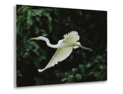 A Great Egret, Casmerodius Albus, Flies Gracefully-Tim Laman-Metal Print