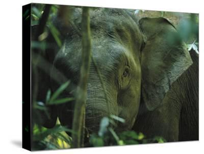 A Close View of an Asian Elephant Peering Through Jungle Brush-Tim Laman-Stretched Canvas Print