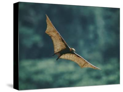 A Golden-Crowned Flying Fox in Flight-Tim Laman-Stretched Canvas Print