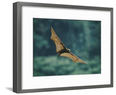 A Golden-Crowned Flying Fox in Flight-Tim Laman-Framed Photographic Print