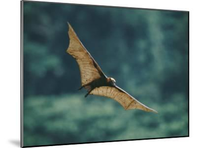 A Golden-Crowned Flying Fox in Flight-Tim Laman-Mounted Photographic Print