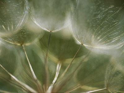A Close View of a Dandelion Seed Head-Raul Touzon-Framed Photographic Print