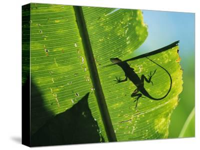 Anole Lizard Silhouetted Behind a Large Leaf-George Grall-Stretched Canvas Print
