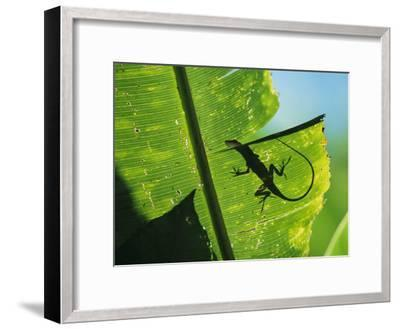 Anole Lizard Silhouetted Behind a Large Leaf-George Grall-Framed Photographic Print