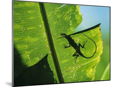 Anole Lizard Silhouetted Behind a Large Leaf-George Grall-Mounted Photographic Print