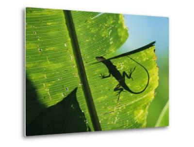 Anole Lizard Silhouetted Behind a Large Leaf-George Grall-Metal Print