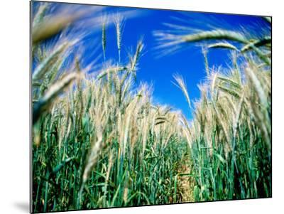 Barley Field in July, Denmark-Martin Llad?-Mounted Photographic Print