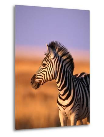 Portrait of Young Burchells Zebra (Equus Burchelli), Etosha National Park, Namibia-Andrew Parkinson-Metal Print