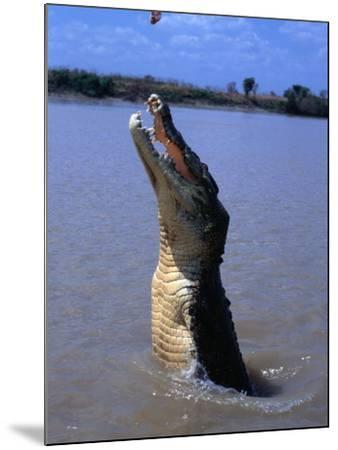 Crocodile (Crocodylidae Crocodilia) Jumping for Food on Adelaide River, Australia-Mitch Reardon-Mounted Photographic Print