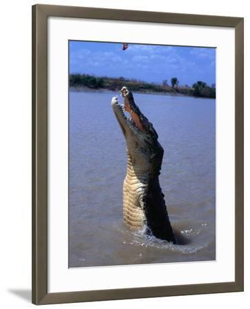 Crocodile (Crocodylidae Crocodilia) Jumping for Food on Adelaide River, Australia-Mitch Reardon-Framed Photographic Print
