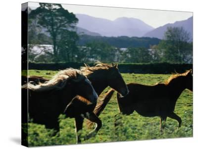 Three Horses Cantering Through Field, Ireland-Oliver Strewe-Stretched Canvas Print