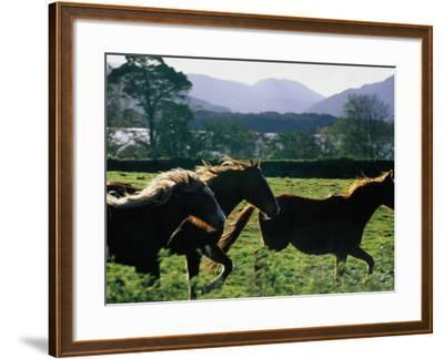 Three Horses Cantering Through Field, Ireland-Oliver Strewe-Framed Photographic Print