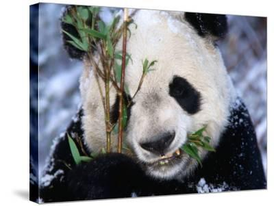 Panda Eating Bamboo in the Wolong Valley at the Sleepy Dragon Nature Reserve, Sichuan, China-Keren Su-Stretched Canvas Print