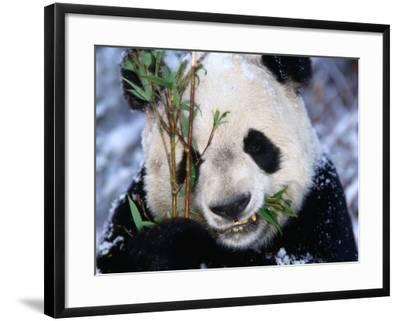 Panda Eating Bamboo in the Wolong Valley at the Sleepy Dragon Nature Reserve, Sichuan, China-Keren Su-Framed Photographic Print
