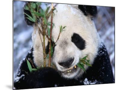 Panda Eating Bamboo in the Wolong Valley at the Sleepy Dragon Nature Reserve, Sichuan, China-Keren Su-Mounted Photographic Print