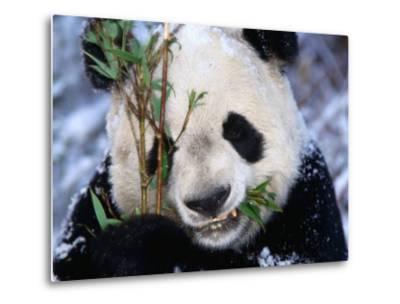 Panda Eating Bamboo in the Wolong Valley at the Sleepy Dragon Nature Reserve, Sichuan, China-Keren Su-Metal Print