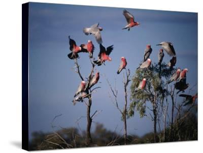 Galahs (Cacatua Roseicapilla), Currawinya National Park, Queensland, Australia-Mitch Reardon-Stretched Canvas Print