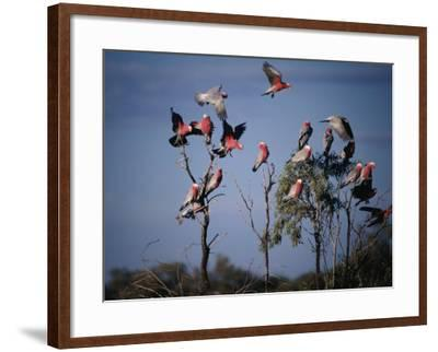 Galahs (Cacatua Roseicapilla), Currawinya National Park, Queensland, Australia-Mitch Reardon-Framed Photographic Print