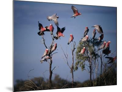 Galahs (Cacatua Roseicapilla), Currawinya National Park, Queensland, Australia-Mitch Reardon-Mounted Photographic Print