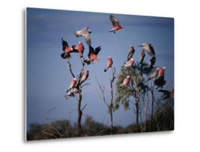 Galahs (Cacatua Roseicapilla), Currawinya National Park, Queensland, Australia-Mitch Reardon-Metal Print