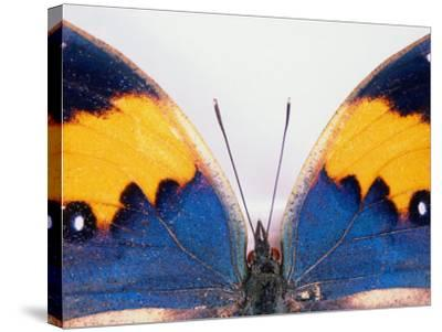 Detail of a Butterfly Body and Wings, Wolong Ziran Baohuqu, China-Keren Su-Stretched Canvas Print