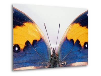 Detail of a Butterfly Body and Wings, Wolong Ziran Baohuqu, China-Keren Su-Metal Print