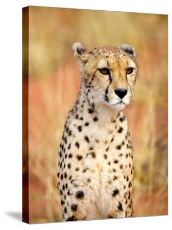 Sitting Cheetah at Africa Project, Namibia-Joe Restuccia III-Stretched Canvas Print