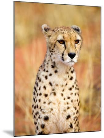 Sitting Cheetah at Africa Project, Namibia-Joe Restuccia III-Mounted Photographic Print