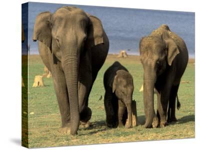 Asian Elephant Family, Nagarhole National Park, India-Gavriel Jecan-Stretched Canvas Print