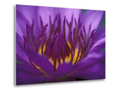 Purple and Yellow Lotus Flower, Bangkok, Thailand-John & Lisa Merrill-Metal Print