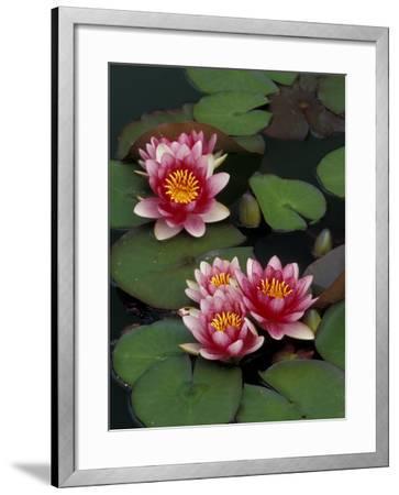 Hybrid Waterlillys, Indiana, USA-Adam Jones-Framed Photographic Print