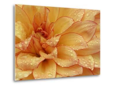 Dahlia Flower with Pedals Radiating Outward, Sammamish, Washington, USA-Darrell Gulin-Metal Print