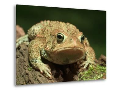 American Toad on Log, Eastern USA-Maresa Pryor-Metal Print