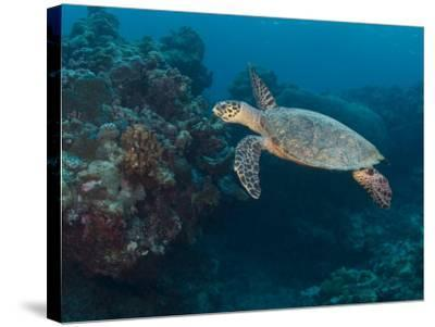 Hawksbill Turtle, Palau, Micronesia, Rock Islands, World Heritage Site, Western Pacific-Stuart Westmoreland-Stretched Canvas Print